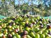 la-collina-degli-iblei-raccolta-olive